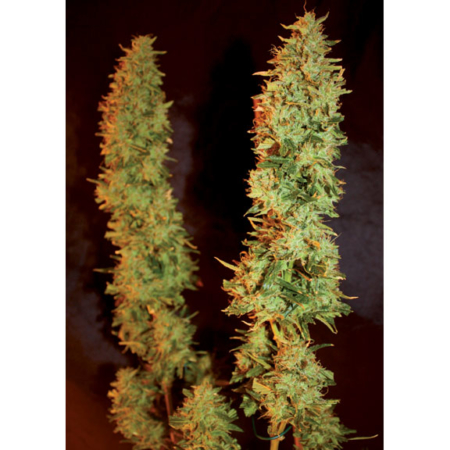 Mallorca Seeds Big White Spider