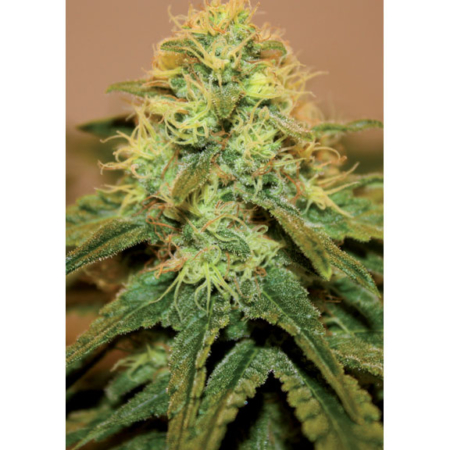Mallorca Seeds Critical del Norte